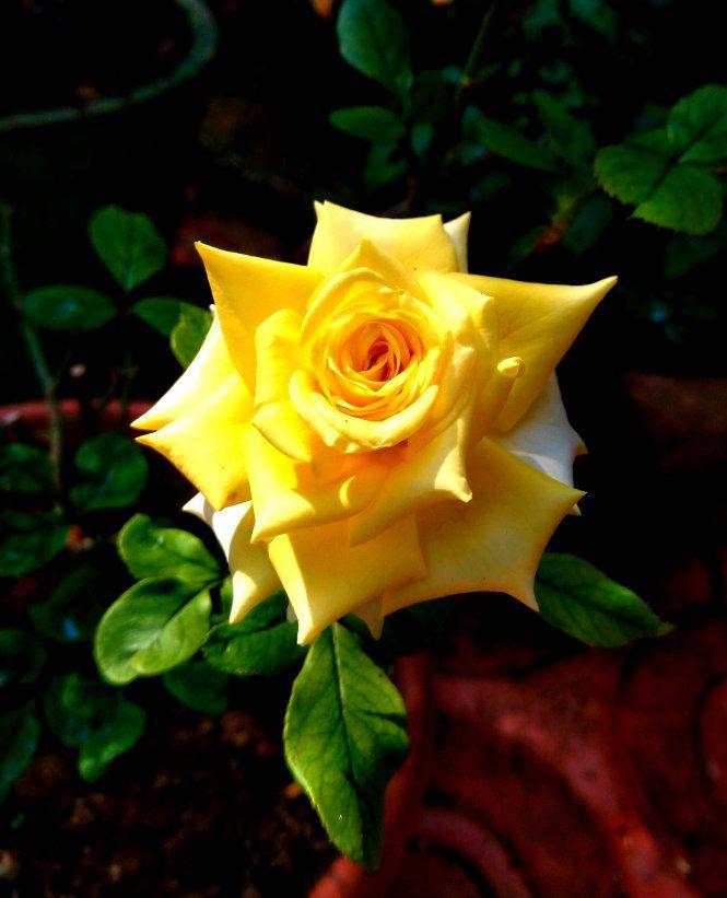 Yellow Rose Samsung Members